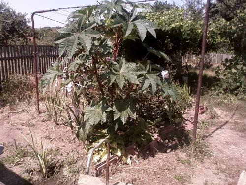 Масличные культуры и растения: лен 8